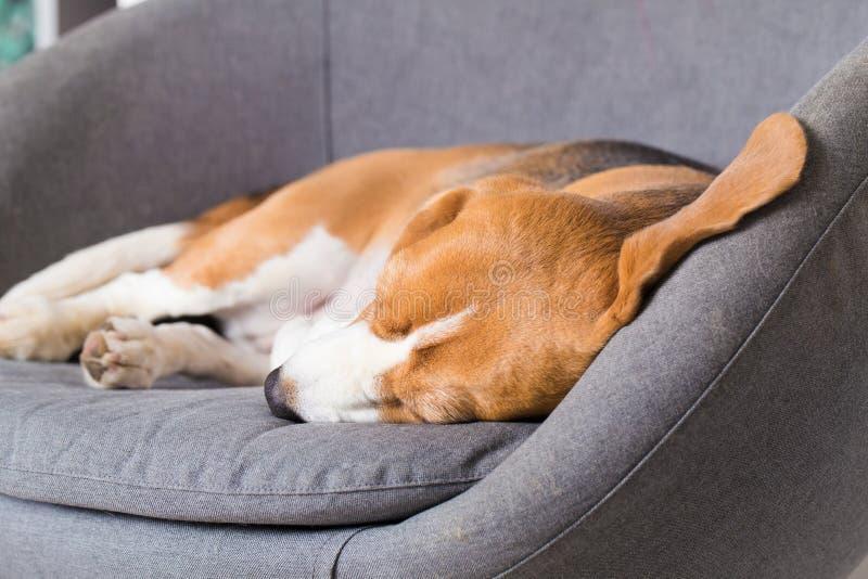 Beagle pies śpi sweetly zdjęcie stock