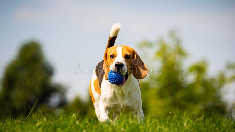 Beagle pies biega przez zielonej łąki w kierunku kamery obrazy stock