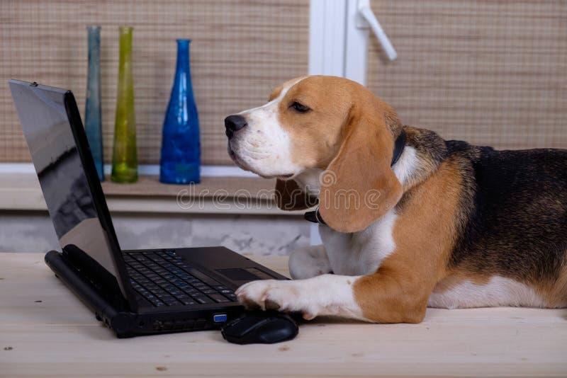 Beagle pies na stole z laptopem obrazy stock