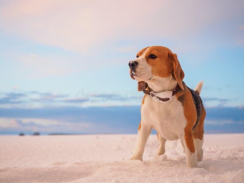Beagle pies na tle piękny zima zmierzch zdjęcia stock