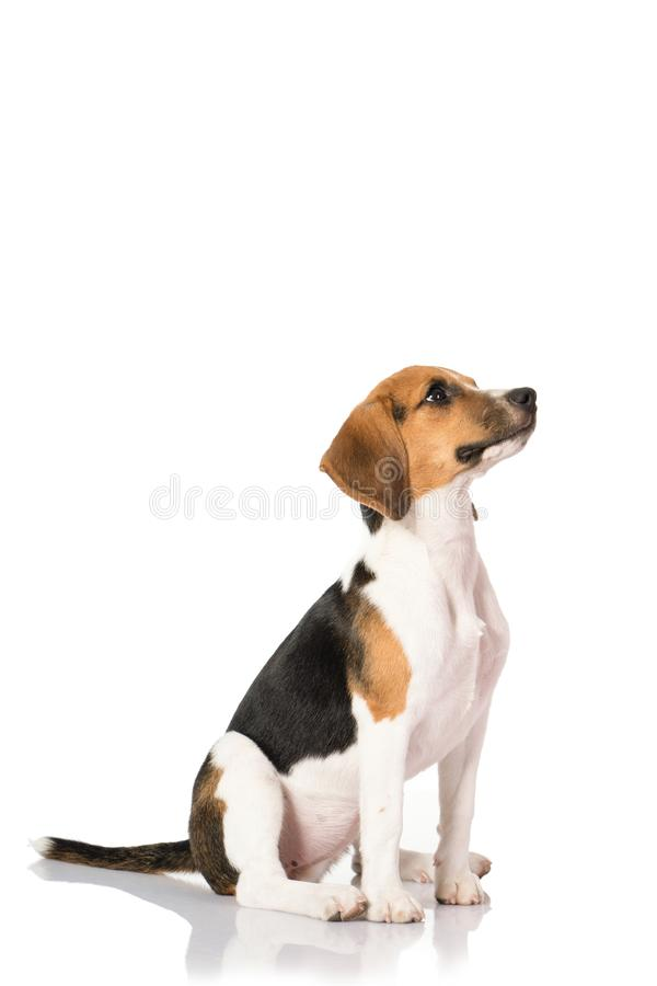 Beagle pies odizolowywający na bielu zdjęcie royalty free