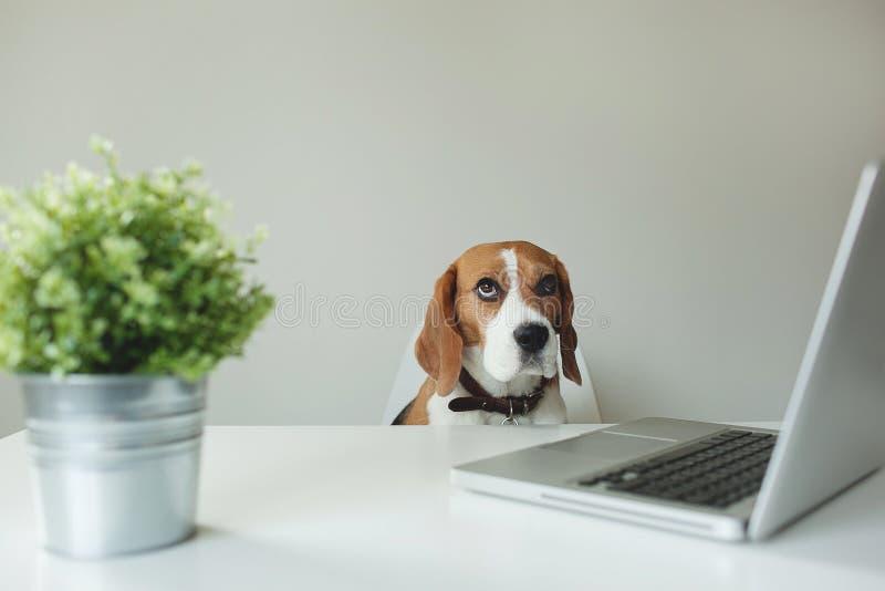 Beagle pies przy biuro stołem z laptopem zdjęcie stock