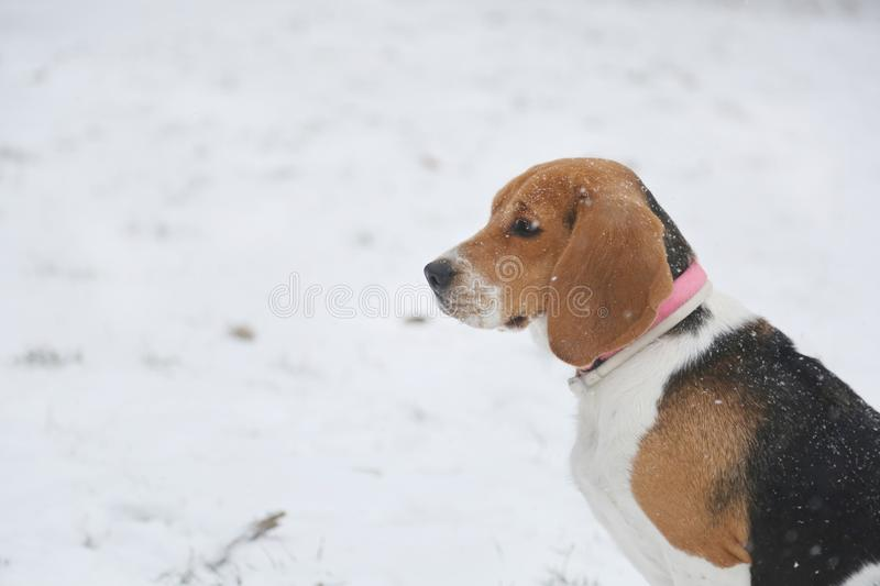 Beagle with pink collar walking on snowy day in park royalty free stock image