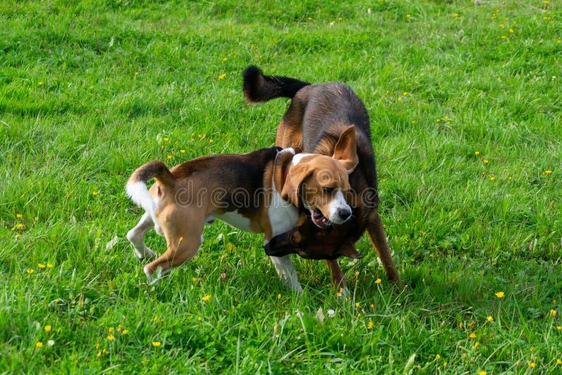 beagle plażowy Oregon zdjęcia royalty free