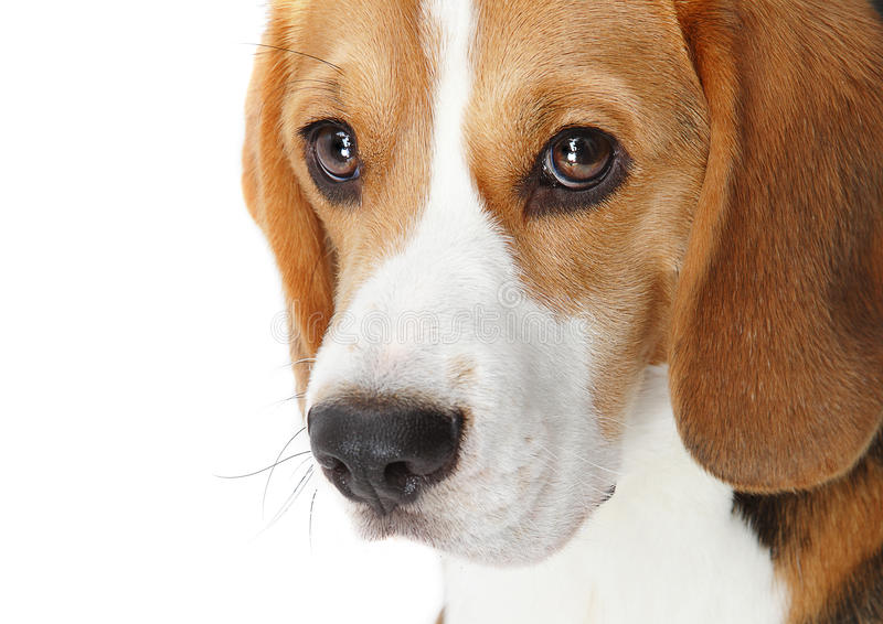 Beagle portrait stock images