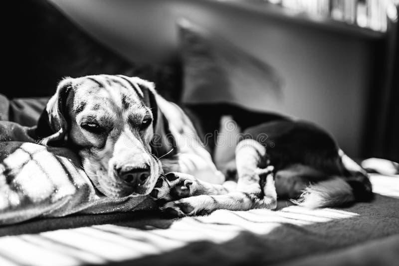 Beagle psi łgarski puszek na kanapie odpoczywa podczas lata fala upałów czarny white zdjęcia stock