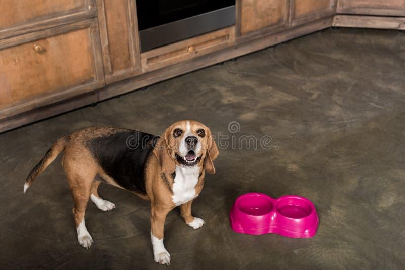 Beagle psi czekanie dla karmowych pobliskich menchii rzuca kulą w kuchni obraz royalty free