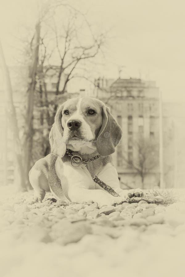 Beagle psi lying on the beach na skałach w parku obraz royalty free