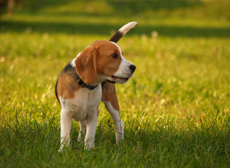beagle psi obserwatora fotografia royalty free