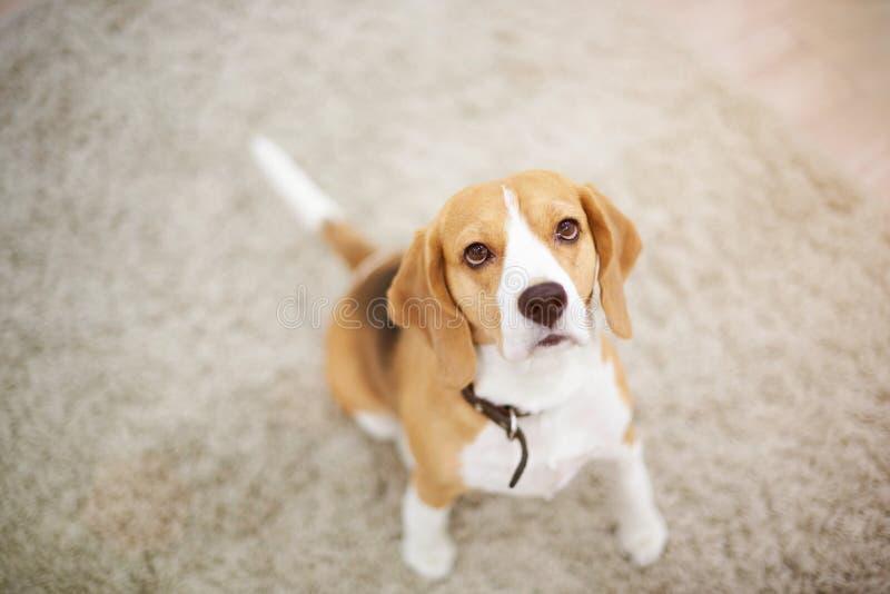 Beagle psi obsiadanie na dywanie obraz stock
