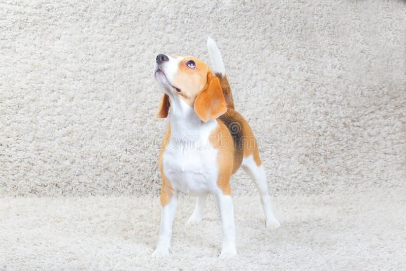 Beagle psi relaksować w domu obraz royalty free