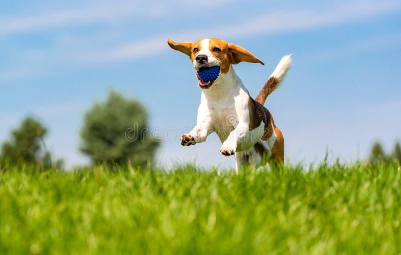 Beagle psia zabawa w ogr?dzie outdoors biega i skacze z pi?k? w kierunku kamery obraz royalty free