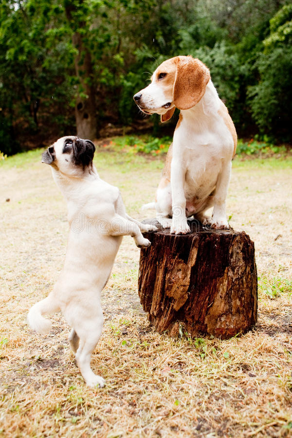 Beagle and pug. Arguing in the forest royalty free stock photos