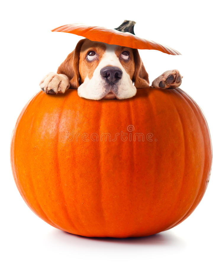 Beagle in pumpkin. Isolated on a white background stock image