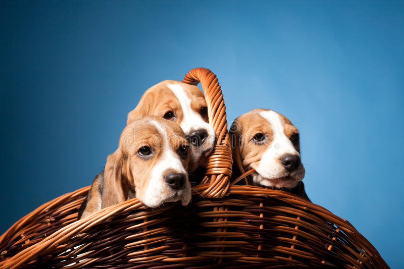 Beagle puppies royalty free stock images