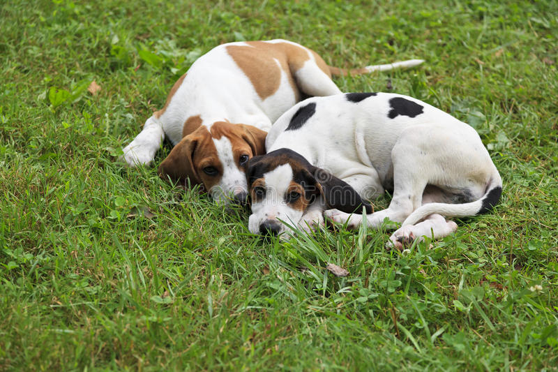 Beagle Puppies. Brown, black and white beagle hound dog puppies sitting in the grass royalty free stock image