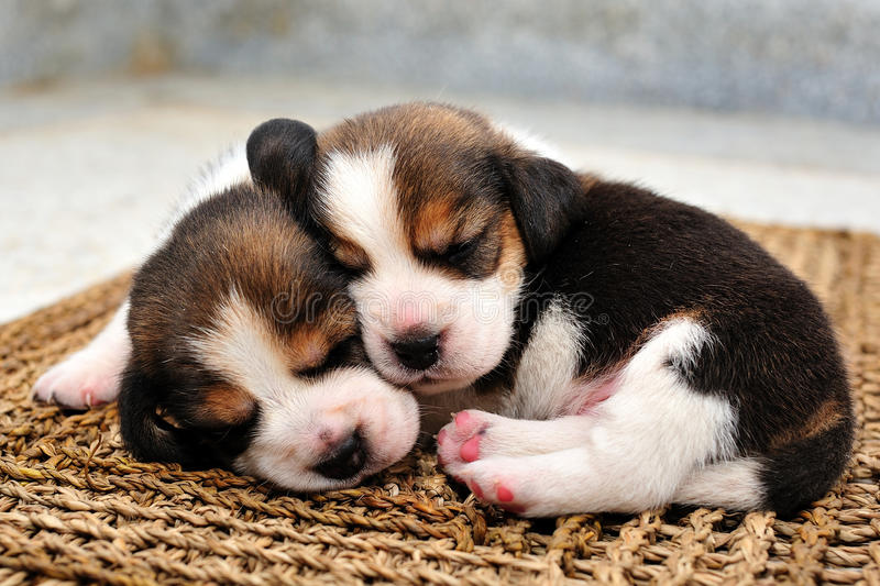 Beagle puppies sleeping royalty free stock photography