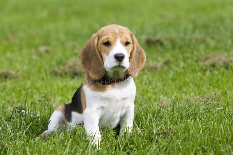 Beagle Puppy stock photography
