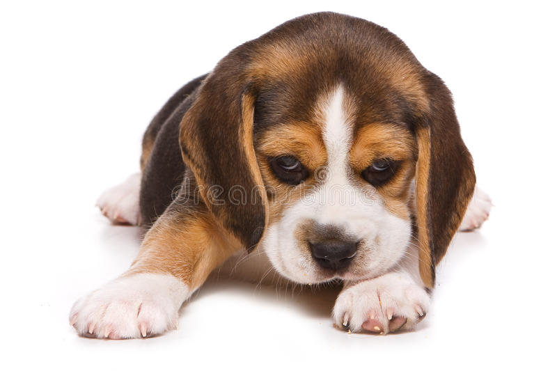 Beagle puppy. On white background royalty free stock photo