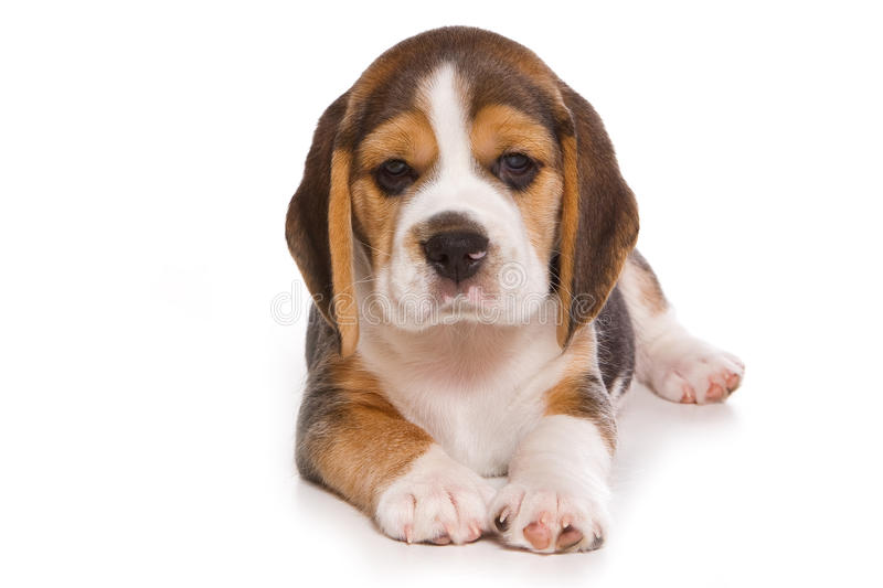 Beagle puppy. On white background stock photography