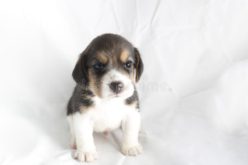 Download Beagle puppy stock photo. Image of beagle, posting, background - 26837656