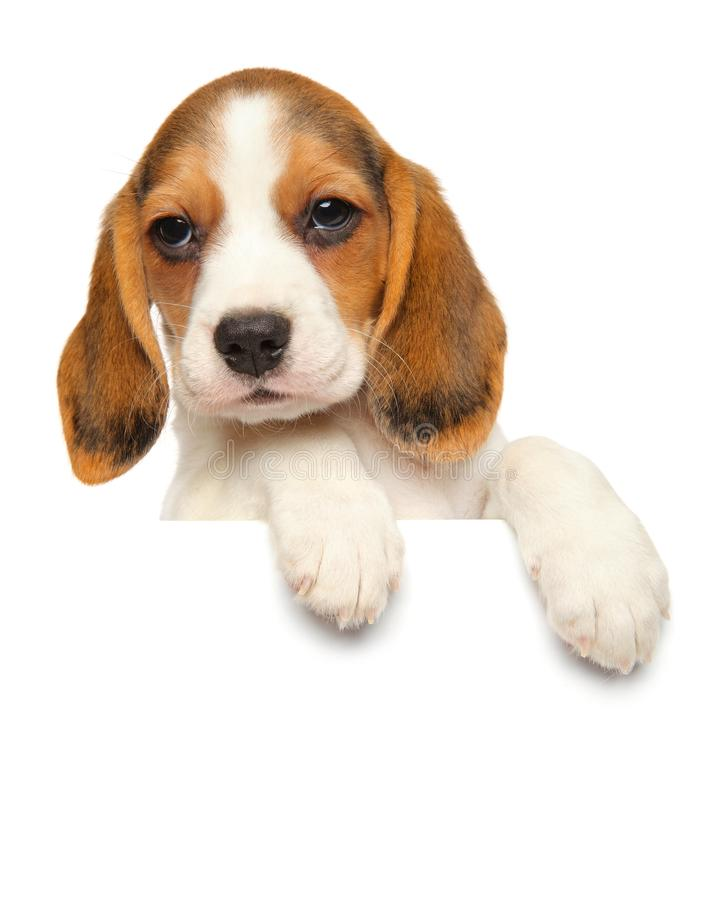 Beagle puppy above banner on a white background stock images