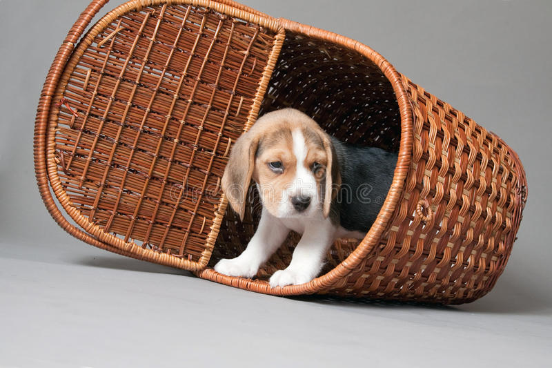 Beagle puppy in basket stock images