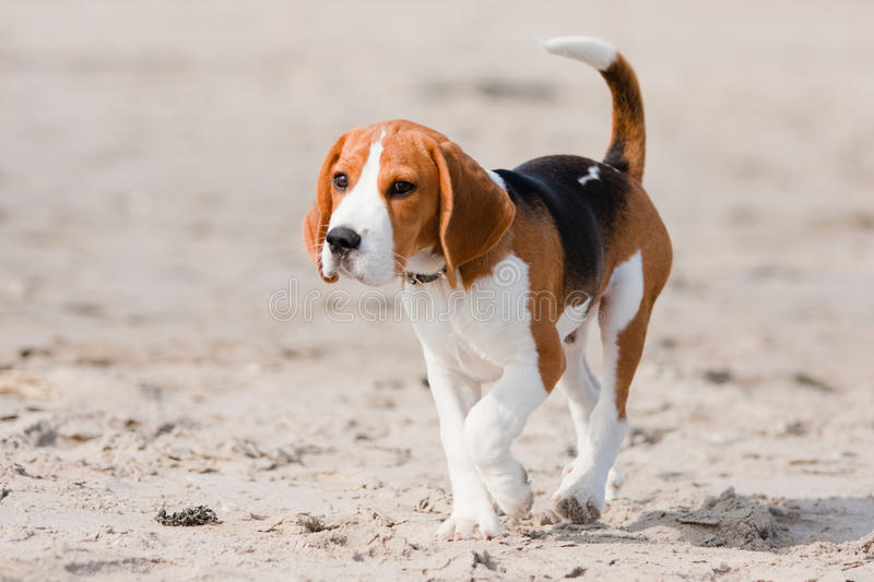 Download Beagle puppy on a beach stock photo. Image of sand, brown - 14109288