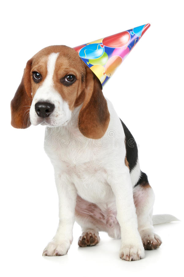 Beagle puppy with birthday party hat. On a white background royalty free stock photography