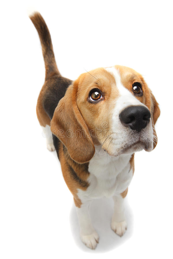 Beagle puppy dog stock photography