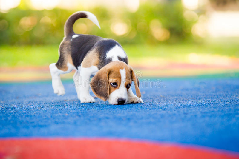 Beagle. Puppy Beagle enjoy playing in the park royalty free stock image