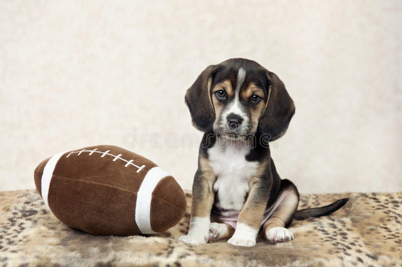 Must see Toy Beagle Adorable Dog - beagle-puppy-football-seven-week-old-posing-toy-51163011  Pic_607450  .jpg