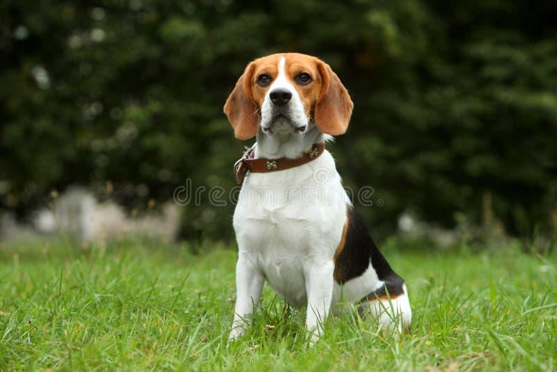 Beagle puppy on grass royalty free stock photo