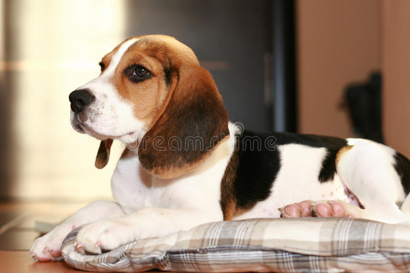 Beagle puppy lying on a bed. Beagle puppy lying in home on a bed royalty free stock photos