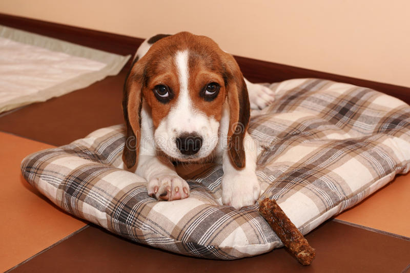 Beagle puppy lying on a dog bedding. Beagle puppy lying in home on a dog bedding stock photos