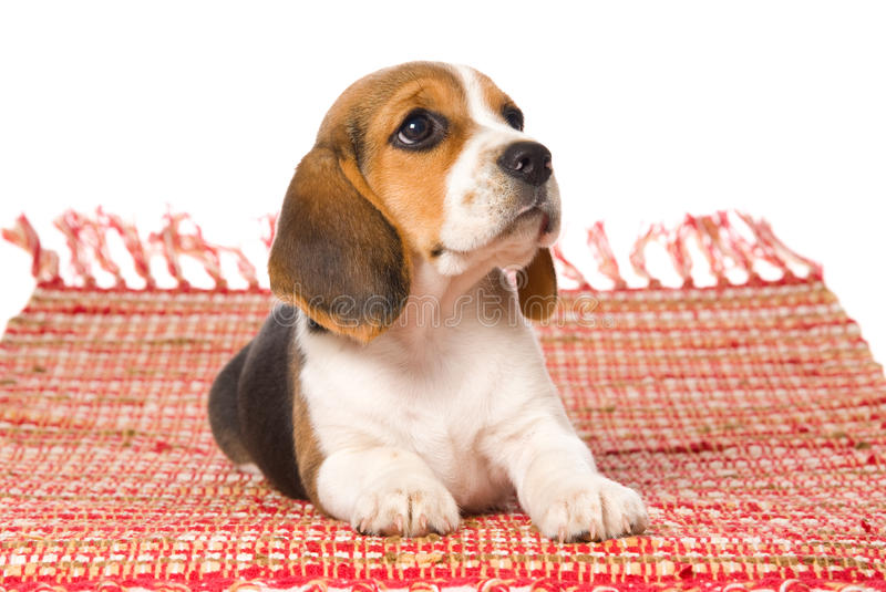 Beagle puppy lying down on red woven rug. Cute Beagle puppy lying on red woven rug, on white background stock image