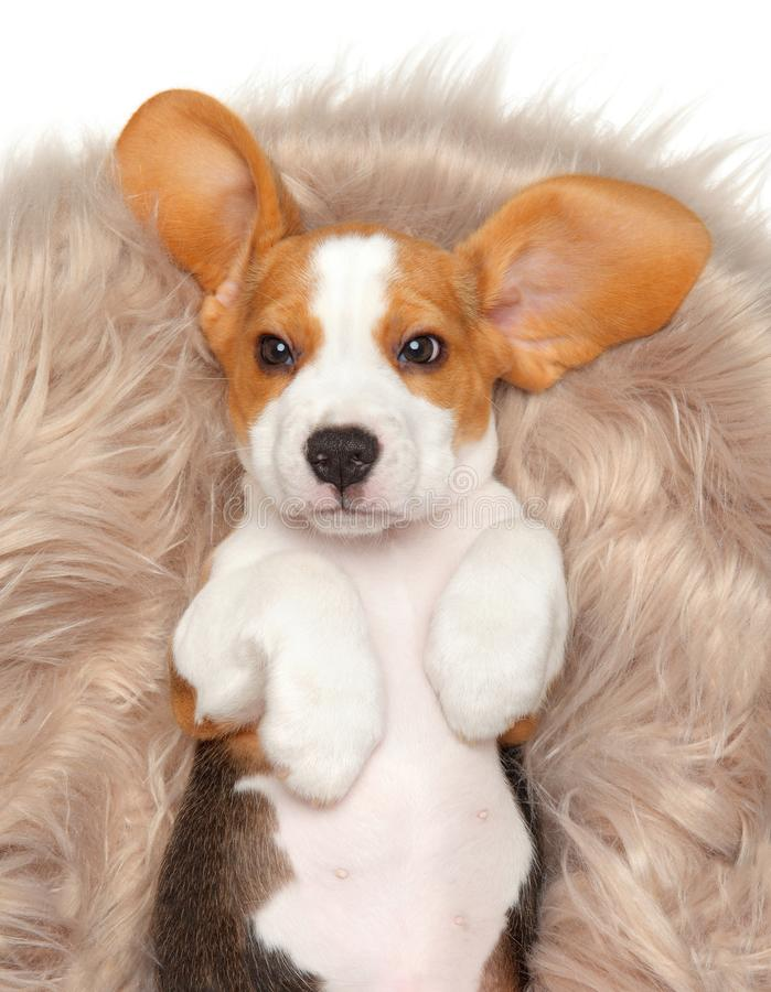 Beagle puppy lying on his back in his basket. royalty free stock images