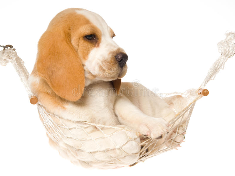 Beagle puppy lying in white hammock. Beagle puppy lying inside miniature hammock, on white background stock image