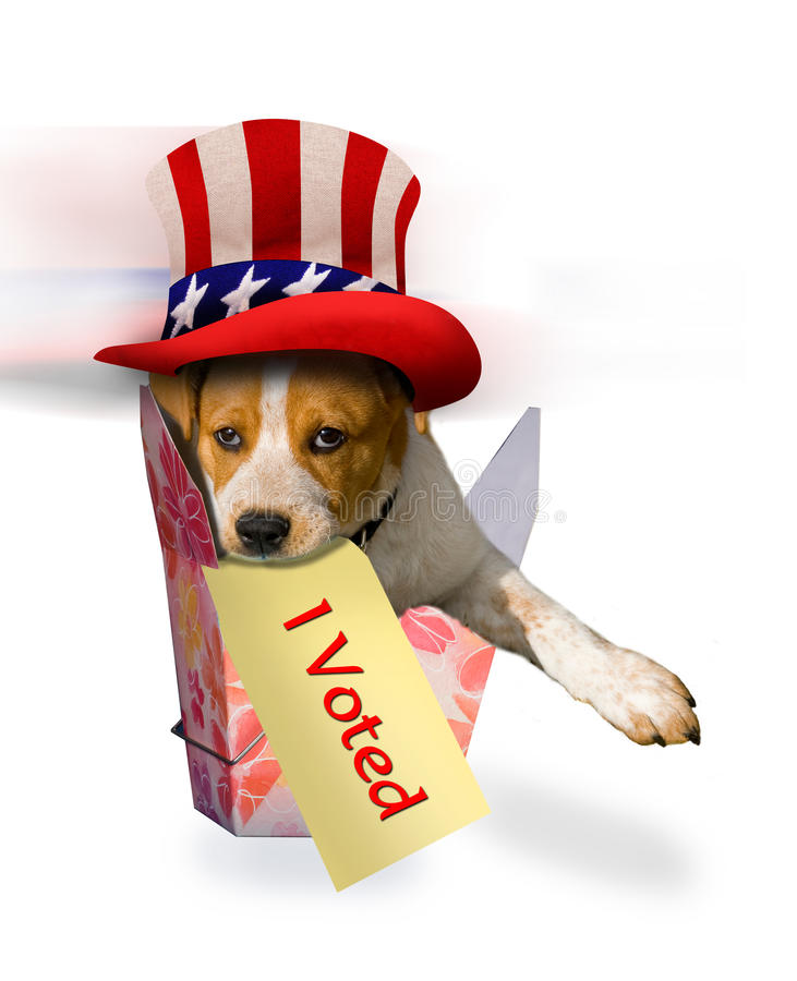 Beagle Puppy in Patriotic Hat. Beagle puppy in floral box with Uncle Sam patriotic hat on with a sign in mouth saying I Voted royalty free stock photo