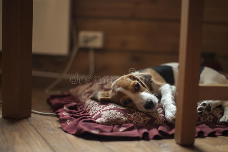 Beagle puppy on the pillow. royalty free stock image