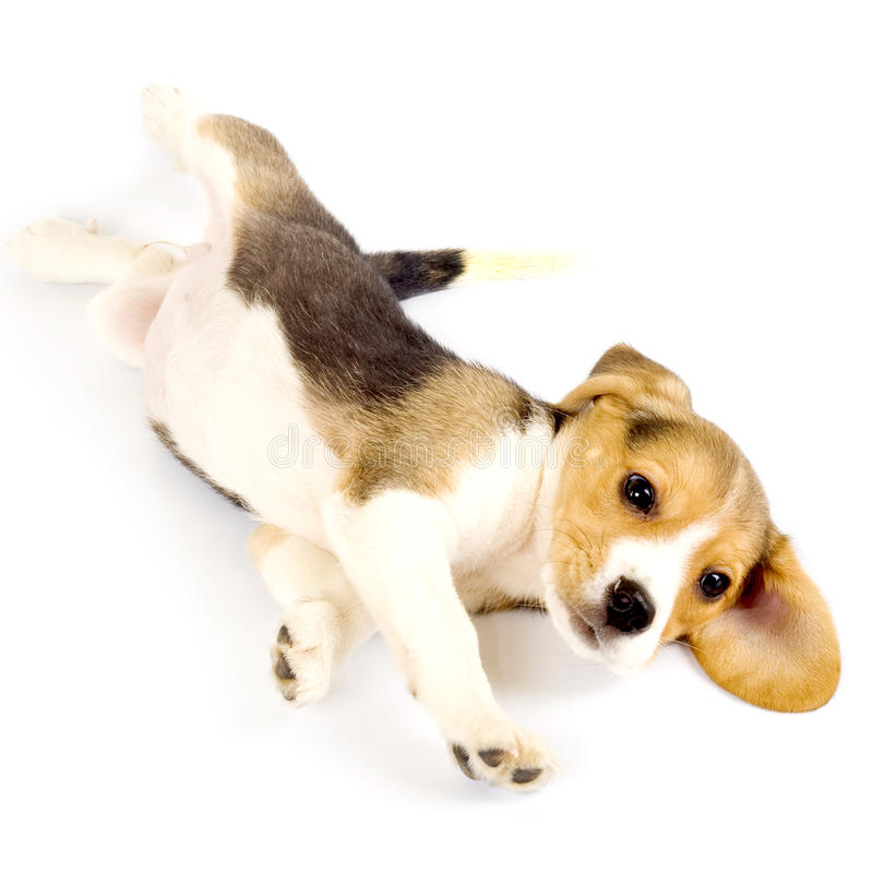 Beagle puppy rolling stock images