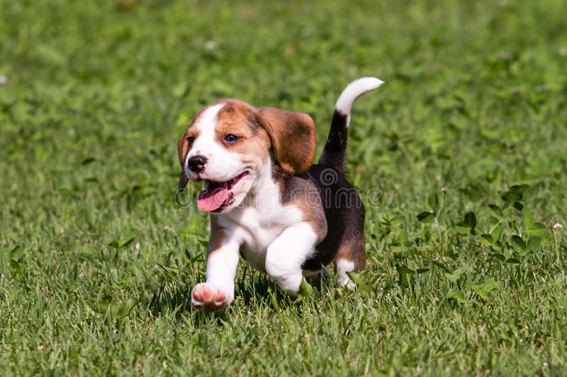 Beagle puppy running stock images