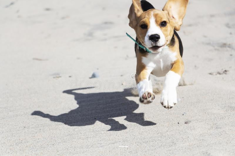 Beagle puppy running on the sea beach royalty free stock image