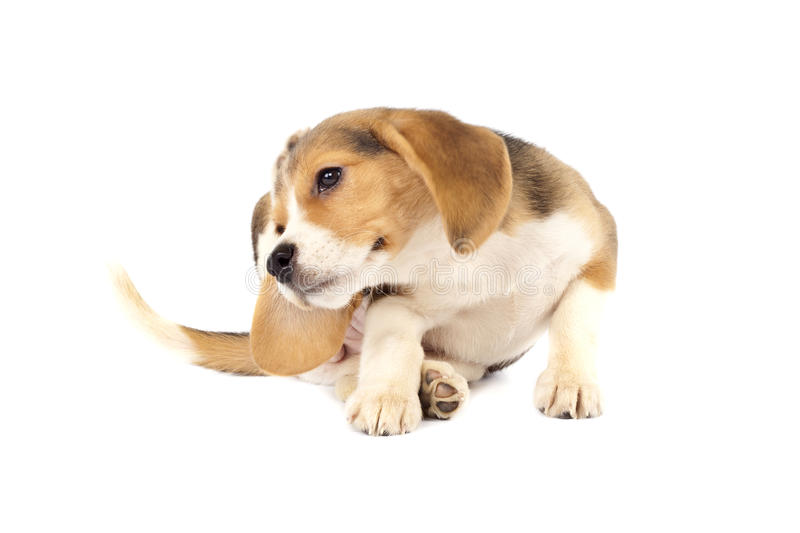 Beagle puppy scratching royalty free stock image