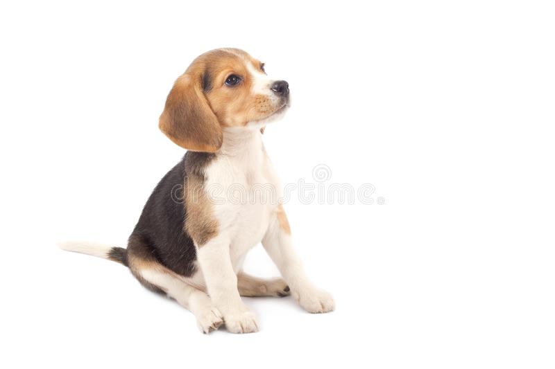 Beagle puppy sitting stock photo