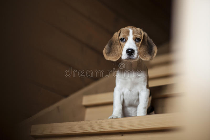 Beagle puppy sitting on wooden staircase. royalty free stock image
