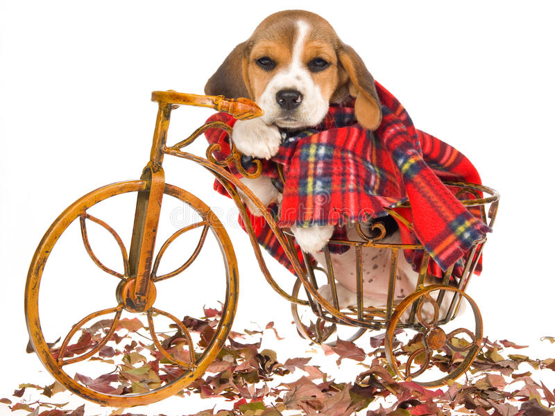 Beagle puppy with tartan coat. Cute Beagle puppy wearing tartan coat and sitting inside miniature brown bicycle, on white background stock image