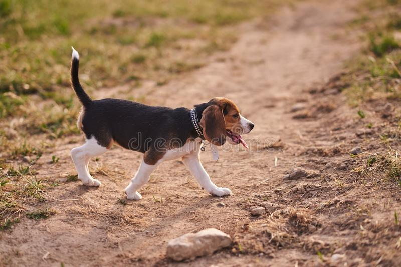 Beagle puppy, tongue sticking out, runs on the sand royalty free stock images