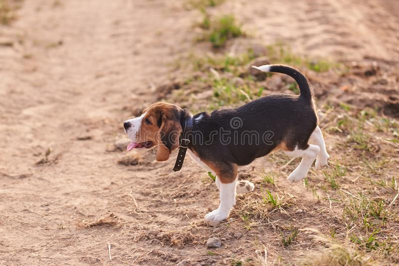 Beagle puppy, tongue sticking out, runs on the sand stock image