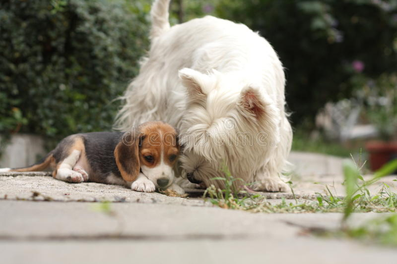 Beagle puppy and Westy royalty free stock images